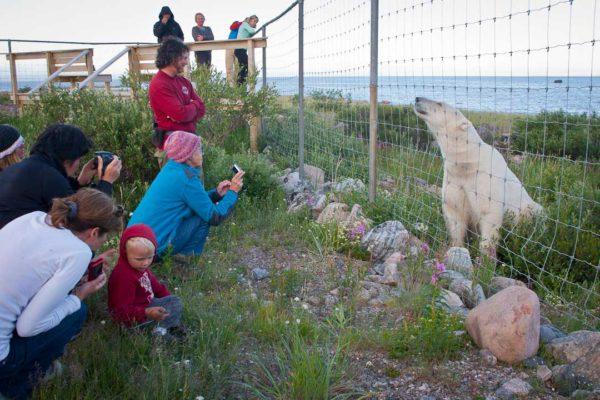 Famille observant un ours polaire derrière une barrière - canada arctique | Les Mondes Polaires