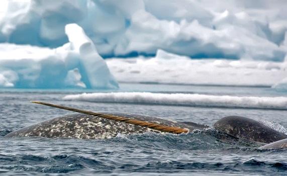 Narval qui sort de l'eau dans la mer de Baffin - Canada | les Mondes Polaires