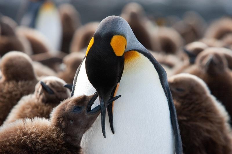 Manchot royal qui nourrit son bébé manchot - Antarctique | Les Mondes Polaires