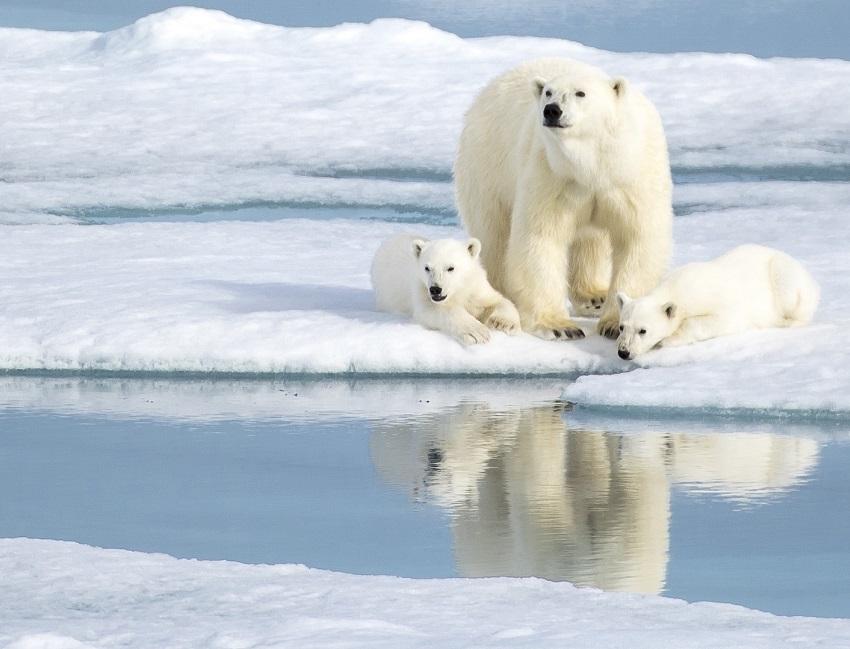 Famille d'ours polaire sur la banquise au Spitzberg - Svalbard | Les Mondes Polaires