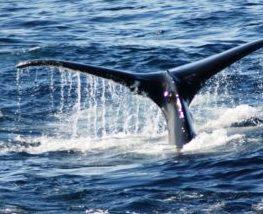 Baleine bleue mammifere marin des regions polaires   Les Mondes Polaires