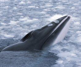 Baleine de minke mammifere marin des regions polaires   Les Mondes Polaires
