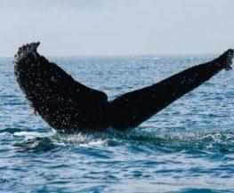 Baleine grise mammifere marin des regions polaires   Les Mondes Polaires