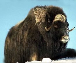 Boeuf musque mammifere du Groenland   Les Mondes Polaires