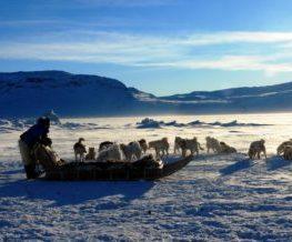 Chien de traineau activite du Groenland   Les Mondes Polaires