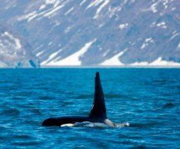 Orque mammifere marin des regions polaires   Les Mondes Polaires