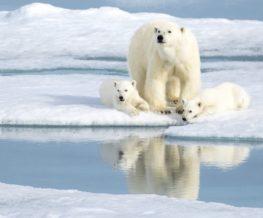 Ours polaire avec ses petits au Svalbard ou au Spitzberg   Les Mondes Polaires
