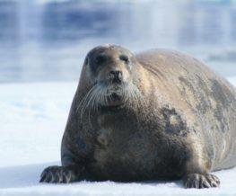 Phoque barbu mammifere marin vivant dans les regions polaires Arctique et Anatrctique   Les Mondes Polaires
