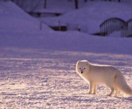 Renard arctique dans la region polaire du Grand Nord   Les Mondes Polaires