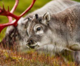 Renne du spitzberg au Svalbard   Les Mondes Polaires