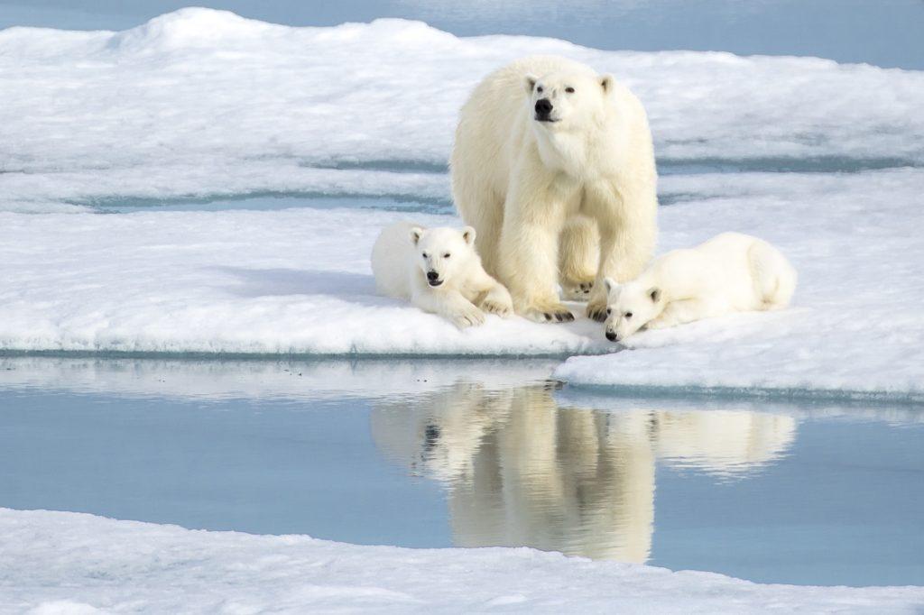 Famille d'ours polaires sur la banquise au Spitzberg - Svalbard | Les Mondes Polaires