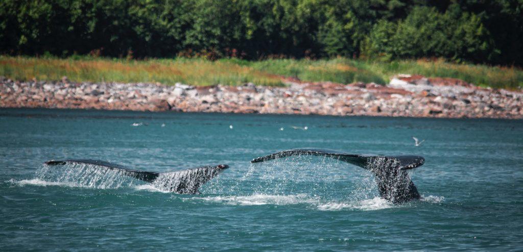 Baleines devant une forêt - iles aléoutiennes | Les Mondes Polaires