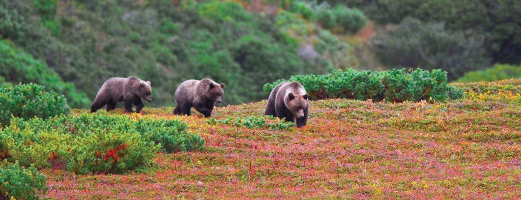 Ours brun sur le cote du Kamchatka - Russie | Les Mondes Polaires