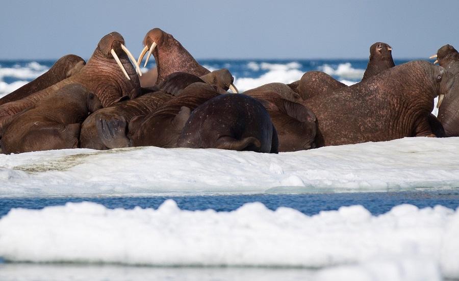 Minitature de morses en Tchukotka et proche des îles Wrangel - Extreme-Orient russe | Les Mondes Polaires