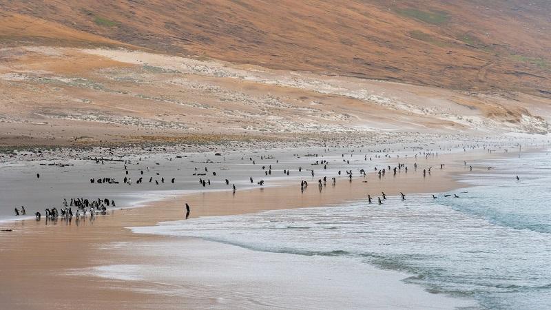 Colonie de manchots sur la plage - Iles Malouines | Les Mondes Polaires